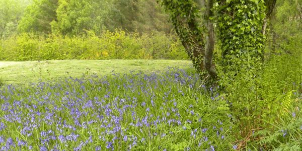 Field of Scottish Bluebells in May
